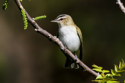 Red-eyed Vireo Trempealeau NWR May 22, 2014