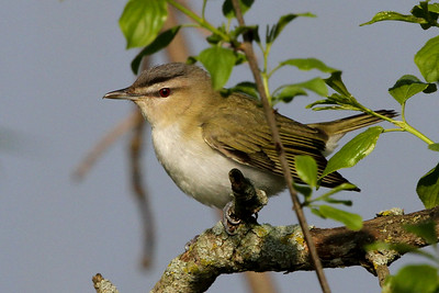 Red-eyed Vireo Trempealeau NWR  May 20, 2014