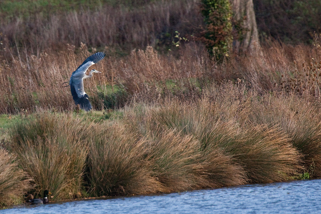 driving through a village and saw the heron standing on the far bank - screeched (quietly) to a halt and waited for him to take flight.