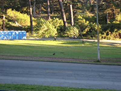 red tail hawk... chillin in GG Park (Jul 15, 2007).