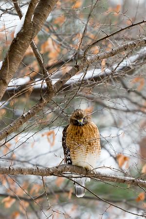 Red-tailed Hawk - Potomac - Jan 2015