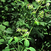 Tall Meadow Rue (Thalictrum pubescens)
