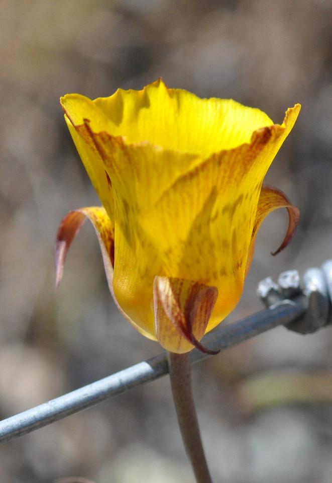 mariposa lily_luteus_DSC_8255