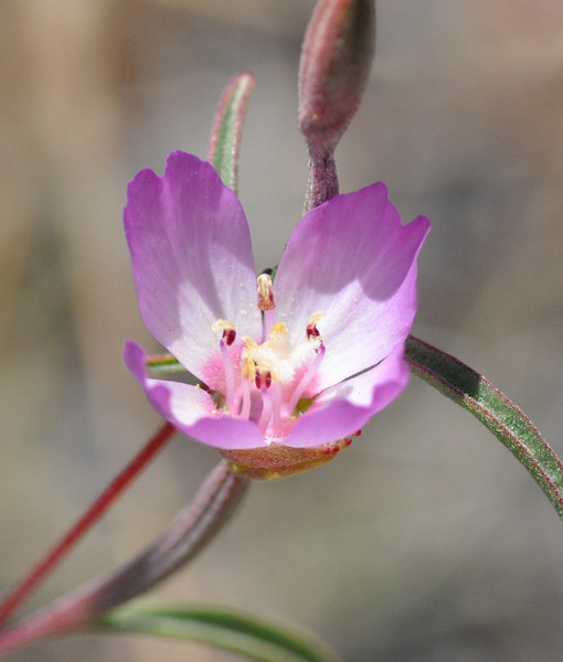 A different angle on the presidio clarkia flower.