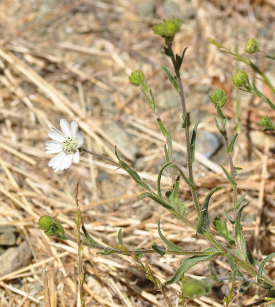 Here is what the hayfield tarweed plant looks like.