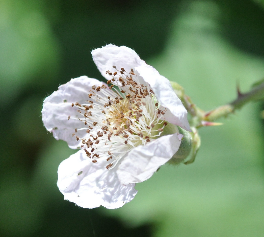 I stopped to take a picture of this blackberry flower. Lots of stamens.