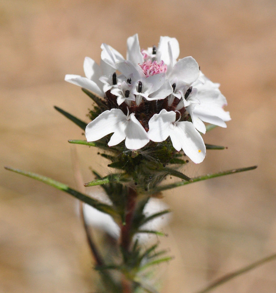 a closeup of the sticky western rosinweed flower.