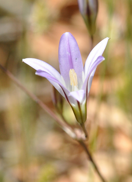 A side view of a pale harvest brodiaea.