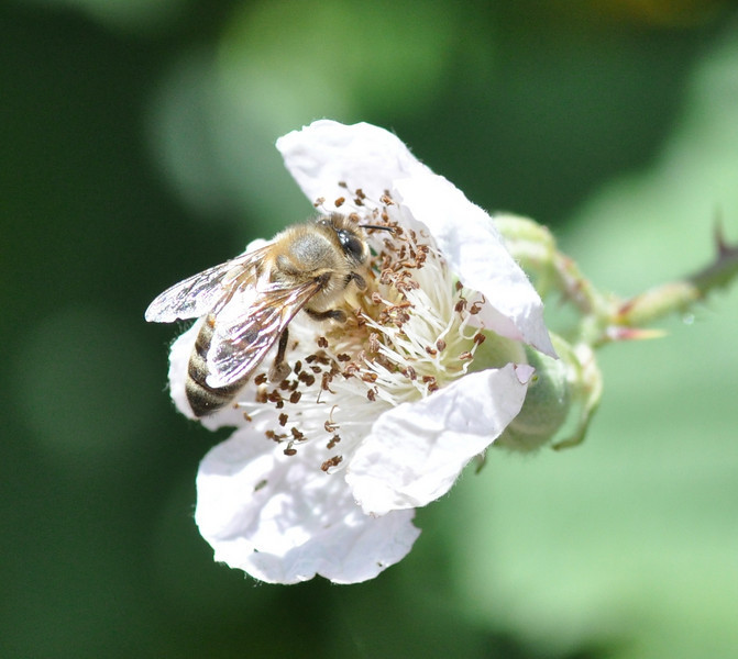 Just after I took a picture of the flower, a bee arrived so I took a few more pictures.