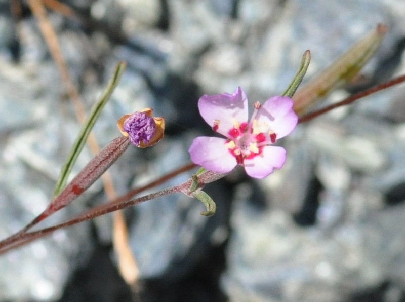 A closeup view into the presidio clarkia flower.  This is a small flower but it is quite showy.