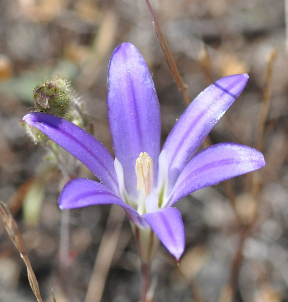 There were other harvest brodiaea flowers nearby in the sort of blue/purple color we expect to see.