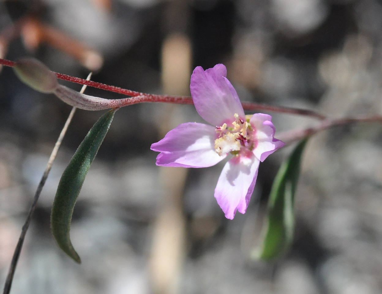 Another presidio clarkia blossom. Click on this image to see the flower parts.