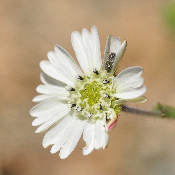 Soon after starting our walk, we saw a number of these white flowers.  Lesley thought they were Hayfield Tarweed which proved to be the case.  Note the bug on a petal at 1 o'clock.