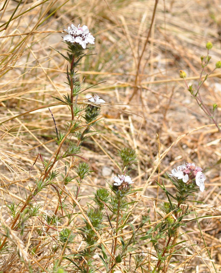 Another view of the rosinweed  flower showing the entire plant