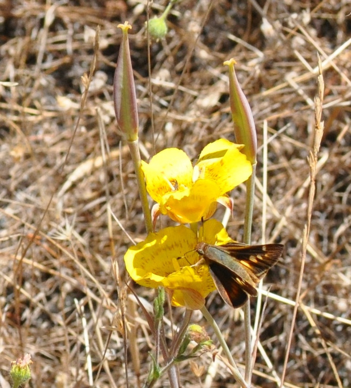 You often get surprises when you walk in an area with a healthy natural habitat.  Today, we spotted a butterfly visiting a Mariposa lily.