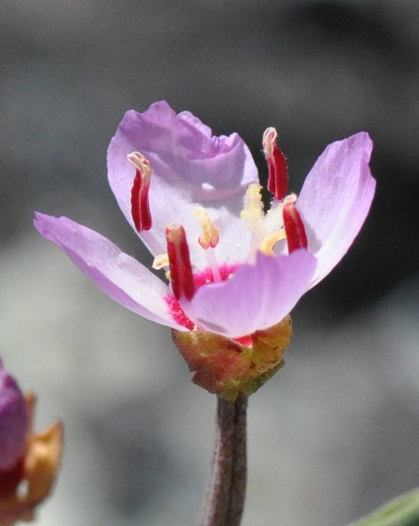 Another closeup of a presidio clarkia flower.  Click on the image for a more detailed image.<br /> <br /> Note the deep pink color at the base of the petals.