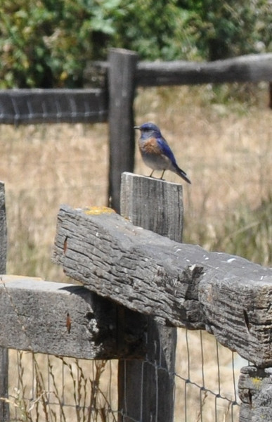 The bluebirds kept moving to more distant perches on this fence as we got too close.  Finally, they gave up and flew to the roof of a house at the edge of the park.