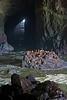 Stellar Sea Lions in a Sea Cave