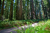 A grove of Coastal Redwoods