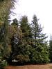 Redwood Hike 17