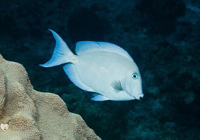 Doctorfish Acanthurus chirurgus 3517
