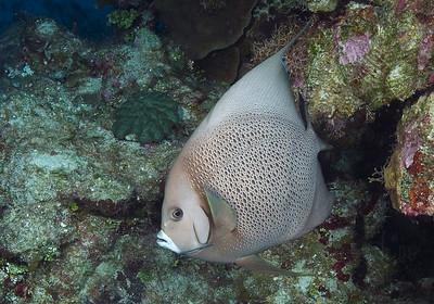 DSCF5073 gray angelfish Pomocanthus arcuatus 5073