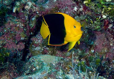 DSCF1289 Rock beauty Holacanthus tricolor B
