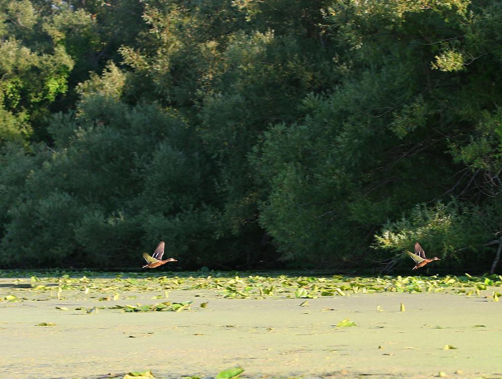 A pair of ducks taking flight