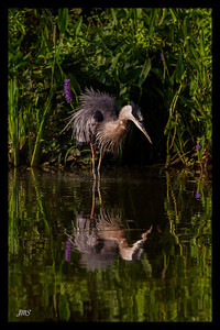 Ruffled Heron, Mirrored July 18, 2013