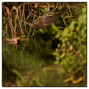 Bittern Reflected July 21, 2013
