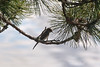 Eastern kingbird in pine tree