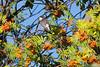 Eastern kingbird in mountain ash tree