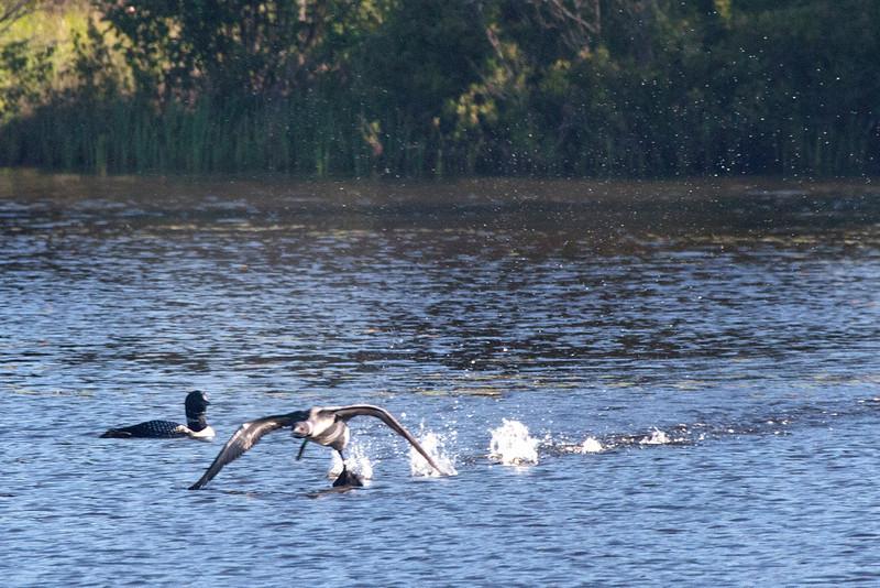 """Loon walking"" 1:  Common loon taking off"