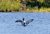 Common loon pair with wing flap