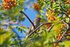 Finch in mountain ash tree