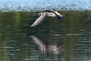 Common loon flight portrait with reflection