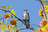 Eastern kingbird portrait