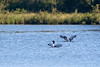 Common loon pair flapping wings