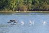 """Loon walking"" 7:  Common loon taking off"