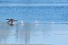 """Loon walking"" 5:  Common loon taking off"