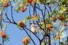 Cedar waxwing in mountain ash tree, view 3