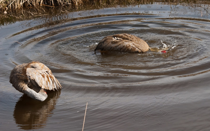 Sandhill Cranes taking a spring bath