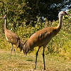 Reifel Bird Sanctuary - Sand Hill Cranes