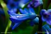 Dew-on-Blue-copy
