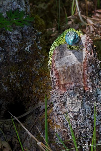 Lagarto-de-água (Lacerta schreiberi)