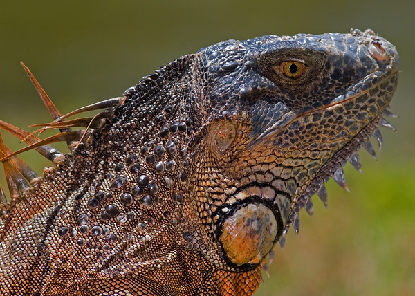 This photograph of a Green Iguana was captured at Fairchild Tropical Botanical Garden in Coral Gables, Florida (4/07).   This photograph is protected by the U.S. Copyright Laws and shall not to be downloaded or reproduced by any means without the formal written permission of Ken Conger Photography.