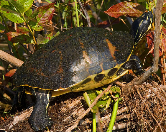 This photograph of a Yellow Slider Turtle was captured in Everglades National Park (2/07).  This photograph is protected by the U.S. Copyright Laws and shall not to be downloaded or reproduced by any means without the formal written permission of Ken Conger Photography.