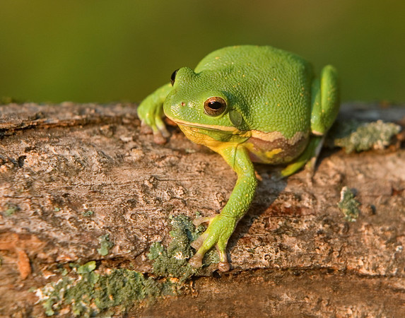 This is a photograph of a Barking Tree Frog (9/07).   This photograph is protected by the U.S. Copyright Laws and shall not to be downloaded or reproduced by any means without the formal written permission of Ken Conger Photography.