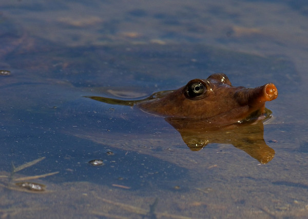 This photograph of a Florida Softshell Turtle was captured at Wakodahatchee Wetlands in Boynton Beach, Florida (4/07).   This photograph is protected by the U.S. Copyright Laws and shall not to be downloaded or reproduced by any means without the formal written permission of Ken Conger Photography.