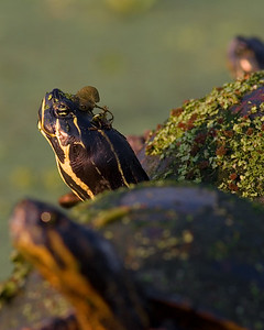 This photograph of a Red-bellied Turtle was captured at Green Cay Wetlands in Boynton Beach, Florida (4/07).   This photograph is protected by the U.S. Copyright Laws and shall not to be downloaded or reproduced by any means without the formal written permission of Ken Conger Photography.